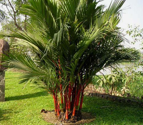 cây dừa cảnh phong thủy
