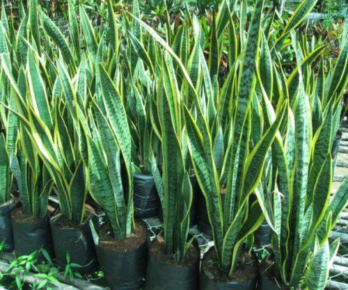 cách trồng cây trong nhà theo phong thủy