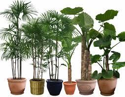 mạng mộc có nên trồng cây