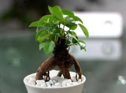 cây cho người mệnh mộc