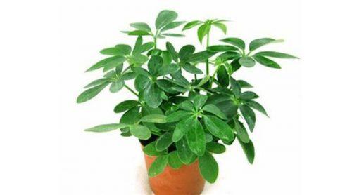 mạng hỏa trồng cây gì