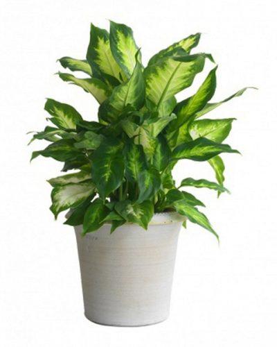 mệnh thổ nên trồng cây gì trong nhà