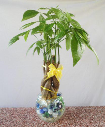 người mệnh kim nên trồng cây gì trong nhà1