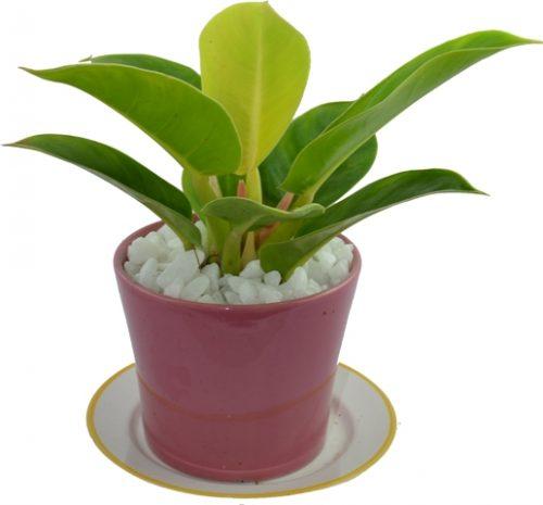 người mệnh kim nên trồng cây gì trong nhà2