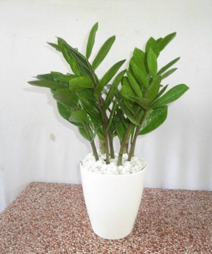 người mệnh kim nên trồng cây gì trong nhà3