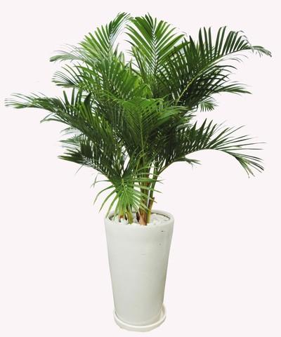 người mệnh kim nên trồng cây gì trong nhà4