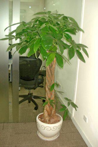 phong thủy cây xanh trong phòng làm việc