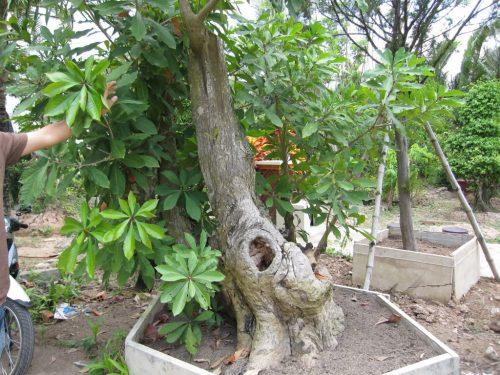 trồng cây lộc vừng theo phong thủy
