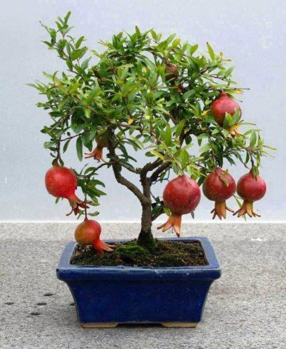 trồng cây lựu theo phong thủy