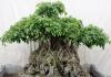 trồng cây si theo phong thủy
