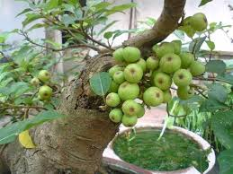 trồng cây sung theo phong thủy