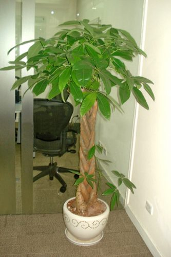 cây nội thất theo phong thủy