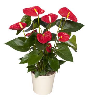 cây phong thủy cho người mạng hỏa (3)