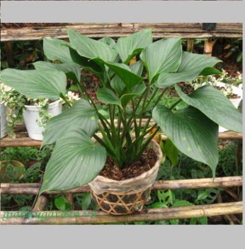mạng thủy trồng cây gì (2)