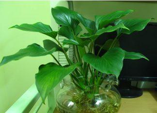 mệnh thủy trồng cây gì trong nhà