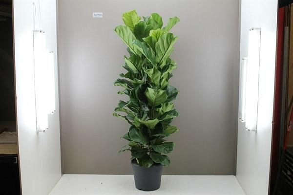 Đặc điểm của cây bàng singapore