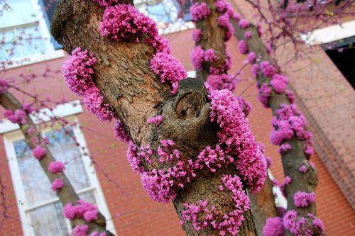 Cận cảnh hoa cây hạnh phúc