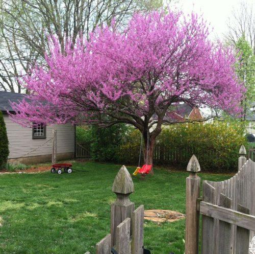 Cây hạnh phúc trồng làm cảnh quan sân vườn