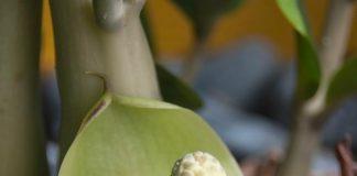 Hoa cây kim tiền