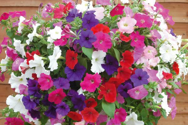 Hoa dạ yến thảo nhiều màu