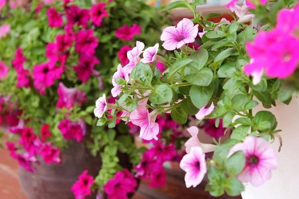 Dạ yến thảo hồng