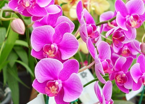 Cách chăm sóc hoa lan hồ điệp tím tươi lâu