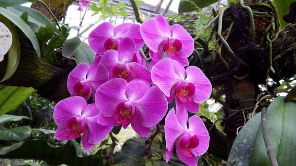 Chăm sóc hoa lan hồ điệp tím