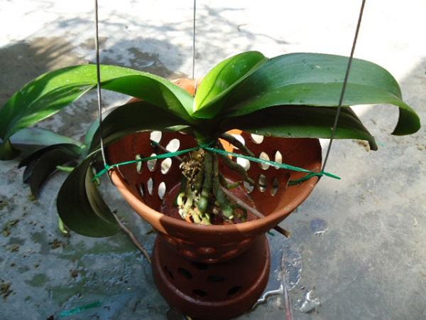 Cách trồng cây lan hồ điệp trong chậu