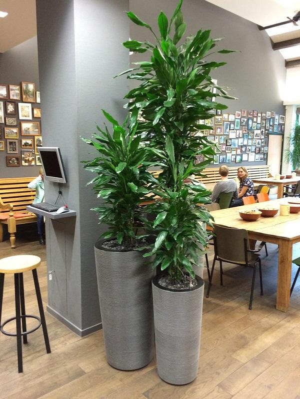 cây thiết mộc lan trang trí văn phòng